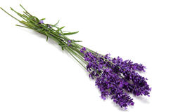 Plucked lavender royalty free stock photos