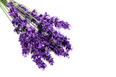 Plucked lavender Stock Image