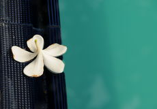 Plucked a white flower on the edge of the pool. Stock Photos