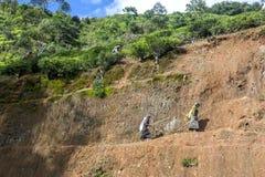 2 pluckers подборщиков чая возглавляют для работы в плантации около Nuwara Eliya в Шри-Ланке Стоковое фото RF