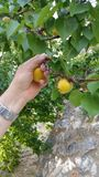 Plucking apricots from tree Stock Photography
