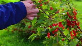 Plucking of red currants stock footage