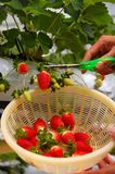 Plucking strawberries Stock Image
