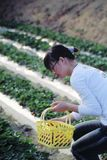 Plucking strawberries. A chinese girl is plucking strawberries Royalty Free Stock Image