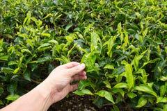 Plucking tea leaf at Cameron Highland tea plantation. Hand of adult man plucking tea leaf at Cameron Highland tea plantation Stock Photography