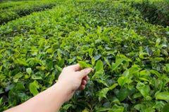 Plucking tea leaf at Cameron Highland tea plantation. Hand of adult man plucking tea leaf at Cameron Highland tea plantation Stock Image