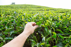 Plucking tea leaf at Cameron Highland tea plantation. Hand of adult man plucking tea leaf at Cameron Highland tea plantation Stock Photos
