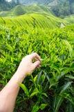 Plucking tea leaf at Cameron Highland tea plantation. Hand of adult man plucking tea leaf at Cameron Highland tea plantation Stock Images