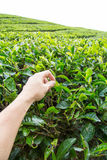 Plucking tea leaf at Cameron Highland tea plantation. Hand of adult man plucking tea leaf at Cameron Highland tea plantation Stock Photo