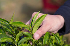 Plucking tea leaf by hand Royalty Free Stock Photography