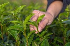 Plucking tea leaf. By hand in tea field Stock Photography