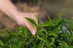 Plucking tea leaf by hand Stock Photo