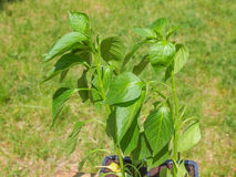 Plug pepper plant Royalty Free Stock Photography