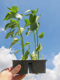 Plug pepper plant Stock Images
