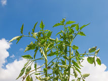 Plug tomato plant Stock Photo
