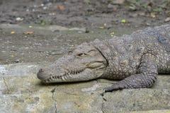 PlugghästCrocodile/Marsh Crocodile (Crocodyluspalustris) värma sig royaltyfria foton