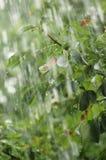Pluie. Photos libres de droits