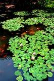 Pluie d'étang de lotus au printemps Photo stock