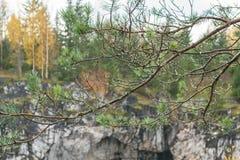 Pluie d'Automn dans une forêt, baisses de l'eau sur des aiguilles de pin Photographie stock libre de droits