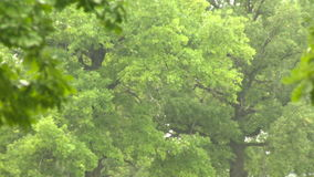 Pluie dans le chêne de forêt banque de vidéos