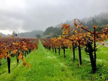 Pluie de chute dans les vignobles Images libres de droits