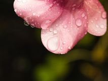 Pluie de l'eau sur la fleur pourpre d'Allamanda image stock