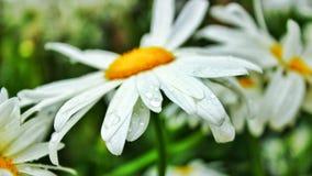 Pluie de ressort sur la fleur du soleil Photo stock
