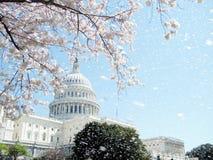 Pluie de Washington Capitol fleurs de cerisier en avril 2010 Image libre de droits
