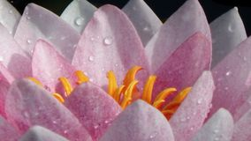 Pluie della La dei après di Fleur de Lotus Fotografia Stock Libera da Diritti