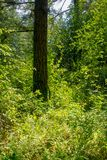 Pluie Forest Sunny Spring Afternoon de séquoia photo stock
