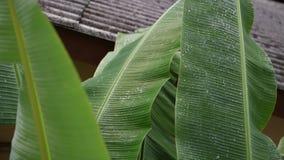 Pluie sur des feuilles de banane, roulement de l'eau sur des feuilles de banane Baisses d'égouttement des feuilles de banane banque de vidéos