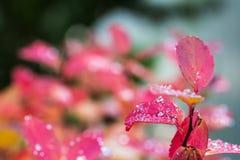 Pluie sur des feuilles V Photographie stock