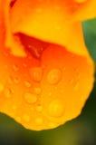 Pluie sur le pavot Photo stock