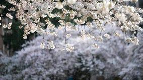 Pluie tombant à l'arrière-plan de beau Cherry Blossom On blanc accrochant par matin de ressort à l'université de Washington Photographie stock libre de droits