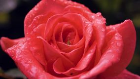 Pluie tombant sur la fleur orange de Rose Fin vers le haut banque de vidéos