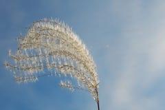 Pluizig aartje van gras in de wind op een achtergrond van blauwe hemel stock foto
