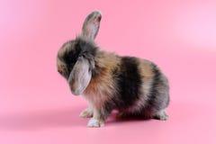 Pluizig bruin en zwart konijn op schone roze achtergrond, weinig konijntje Royalty-vrije Stock Foto's