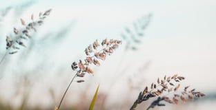 Pluizig gras in de mist Stock Fotografie