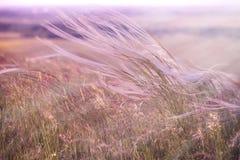 Pluizig gras - zachtheids hoog gras stock afbeeldingen