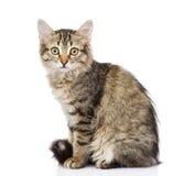 Pluizig grijs mooi katje Op witte achtergrond Stock Afbeeldingen