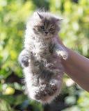 Pluizig katje in de hand Stock Fotografie