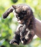 Pluizig katje in de hand Stock Afbeeldingen