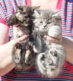 Pluizig katje twee in de hand Royalty-vrije Stock Fotografie