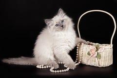 Pluizig katje van de Nevskaya-Maskerade met blauwe ogen, dichtbij een mand met witte parels op een zwarte achtergrond stock fotografie