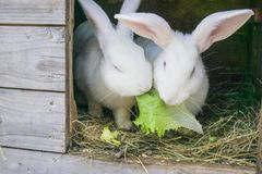 Pluizig konijn die groene salade in zijn blokhuis in een landbouwbedrijf eten stock afbeeldingen