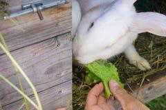 Pluizig konijn die groene salade in zijn blokhuis in een landbouwbedrijf eten royalty-vrije stock afbeeldingen