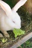 Pluizig konijn die groene salade in zijn blokhuis in een landbouwbedrijf eten royalty-vrije stock afbeelding