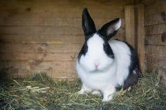 Pluizig konijn die groene salade in zijn blokhuis in een landbouwbedrijf eten stock fotografie