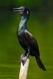 Pluizig laken van India Zwarte Vogel Indische Aalscholver, donkere vogel in aardhabitat, die op de tak met duidelijke groene acht Stock Afbeeldingen