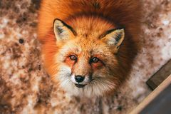 Pluizig leuk rood vosportret in de winter, zao, miyagi, Tohoku-Gebied, Japan stock afbeelding